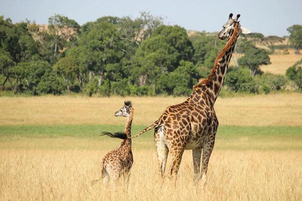 kids-stumble-giraffe